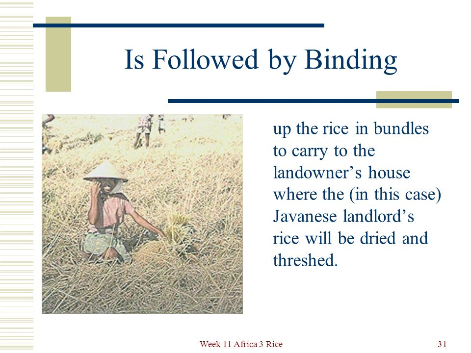 Harvesting Like the woman in the previous slide, these Indian farm laborers cut the rice plants one by one to maximize output per unit of land.