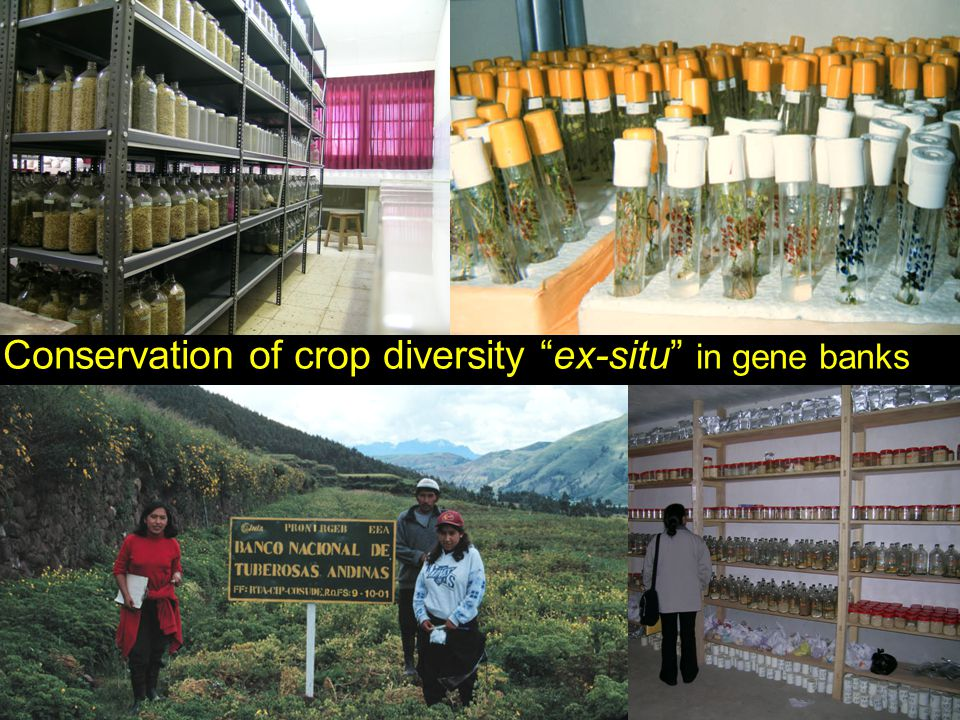 "Conservation of crop genetic diversity Conservation of crop diversity ""ex-situ"" in gene banks"
