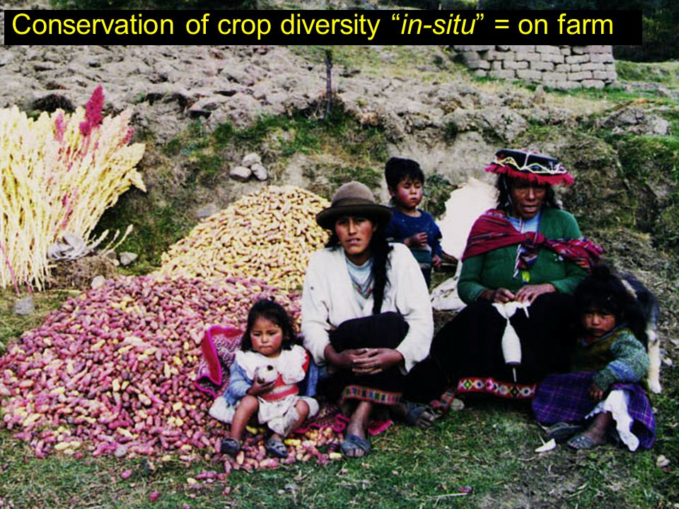 "Conservation of crop diversity ""in-situ"" = on farm"