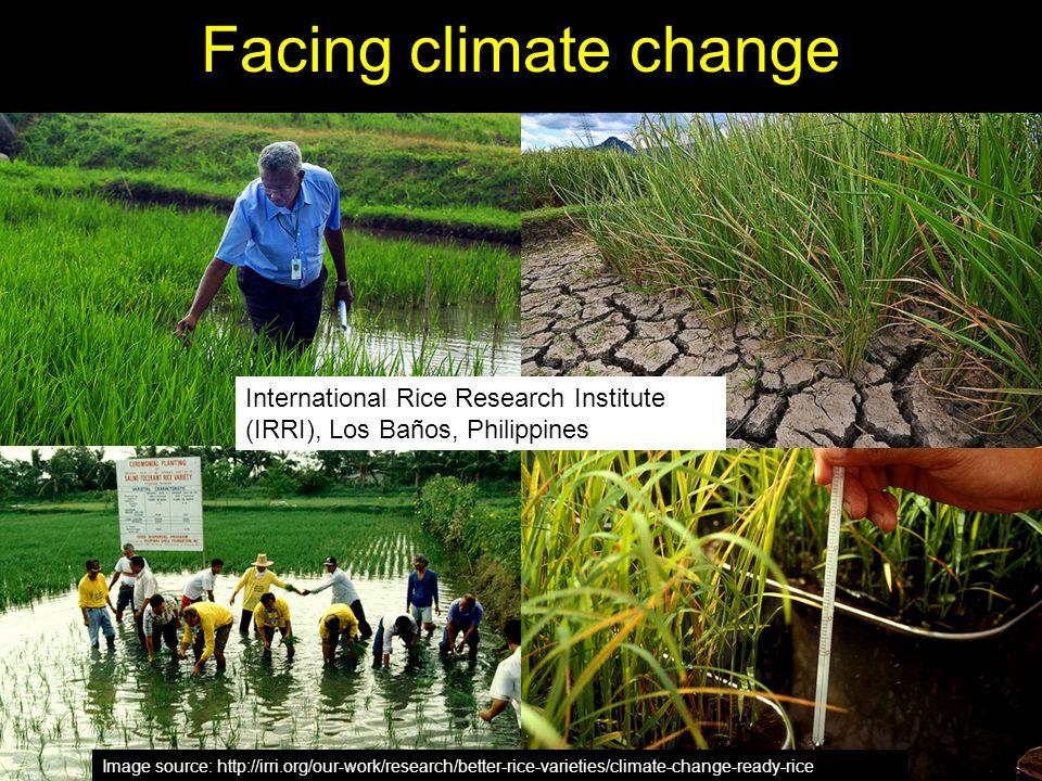 Facing climate change Image source: http://irri.org/our-work/research/better-rice-varieties/climate-change-ready-rice International Rice Research Inst