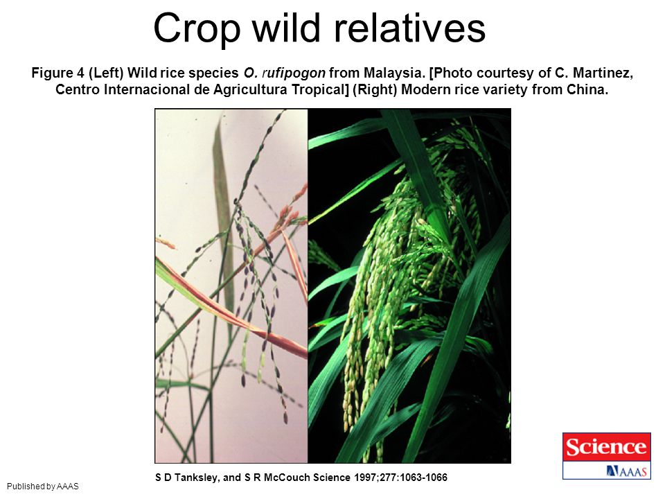 Figure 4 (Left) Wild rice species O. rufipogon from Malaysia. [Photo courtesy of C. Martinez, Centro Internacional de Agricultura Tropical] (Right) Mo