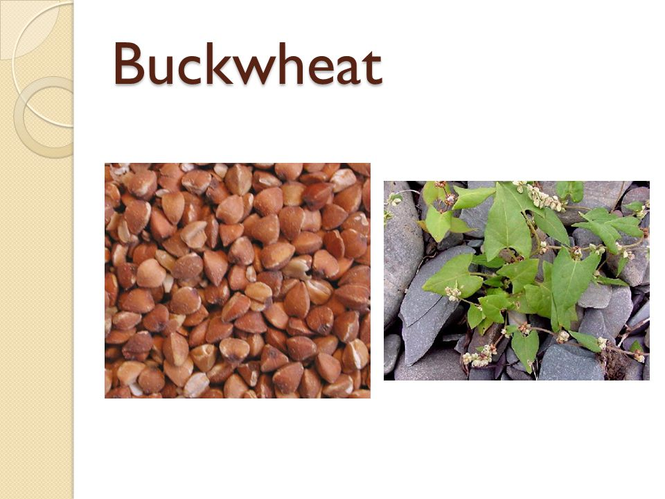 Buckwheat The fruit of a leafy plant belonging to the same family as sorrel and rhubarb.