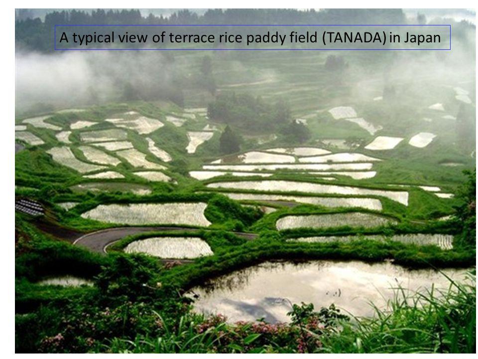 http://blogs.yahoo.co.jp/taketake5295/folder/929079.html?m=lc&p=5 Terraced Rice paddy field in Nepal (ネパールの棚田 )