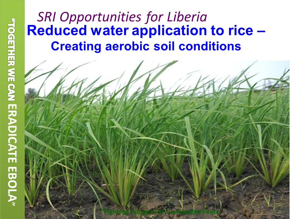 Reduced water application to rice – Creating aerobic soil conditions SRI Opportunities for Liberia Fighting Hunger For Sustainable Peace