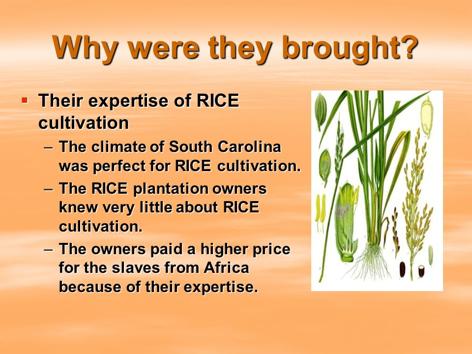 Why were they brought?  Their expertise of RICE cultivation –The climate of South Carolina was perfect for RICE cultivation. –The RICE plantation own