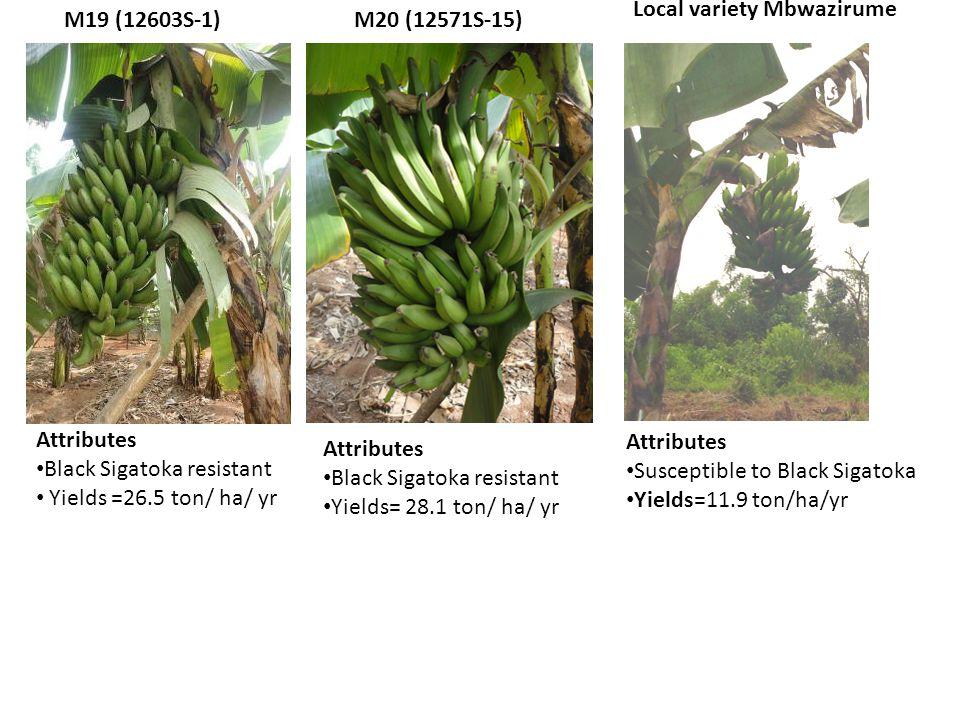 M20 (12571S-15) Attributes Black Sigatoka resistant Yields =26.5 ton/ ha/ yr M19 (12603S-1) Attributes Black Sigatoka resistant Yields= 28.1 ton/ ha/ yr Attributes Susceptible to Black Sigatoka Yields=11.9 ton/ha/yr Local variety Mbwazirume