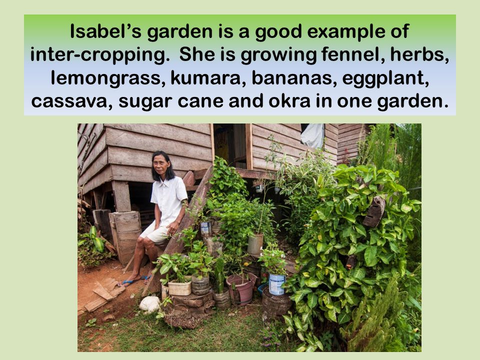 Isabel's garden is a good example of inter-cropping. She is growing fennel, herbs, lemongrass, kumara, bananas, eggplant, cassava, sugar cane and okra