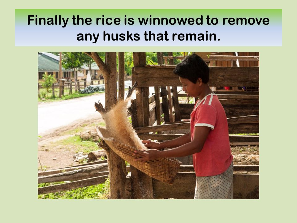 Finally the rice is winnowed to remove any husks that remain.