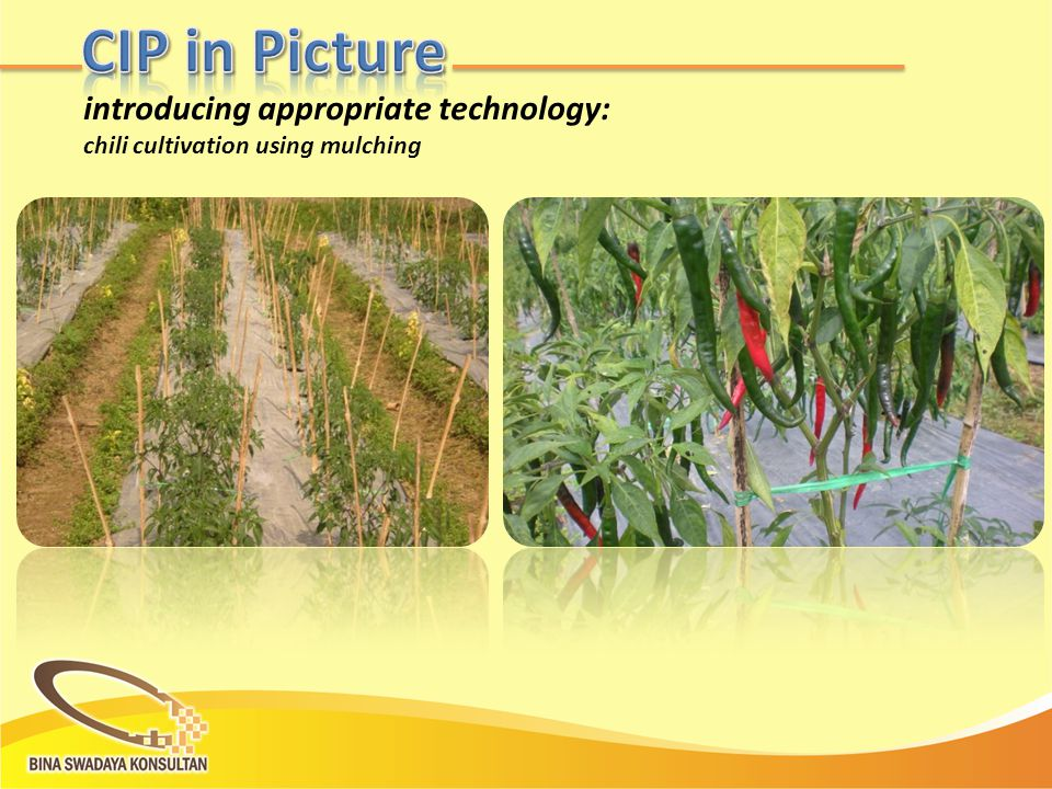 introducing appropriate technology: chili cultivation using mulching