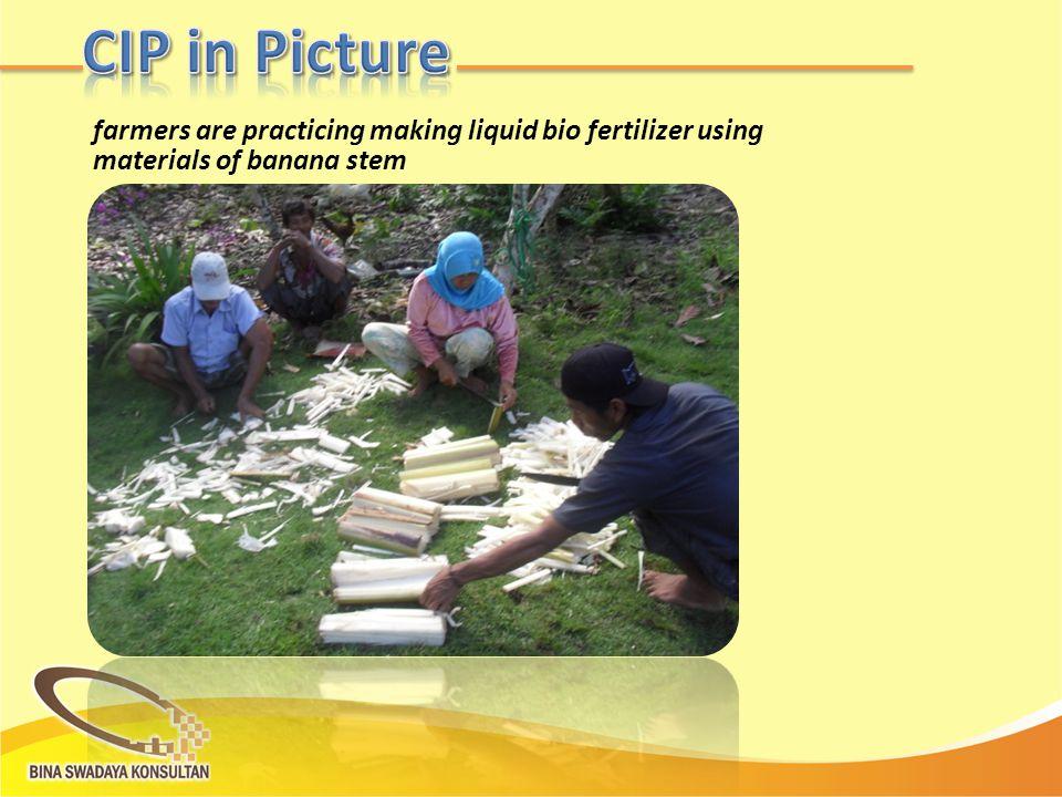 farmers are practicing making liquid bio fertilizer using materials of banana stem