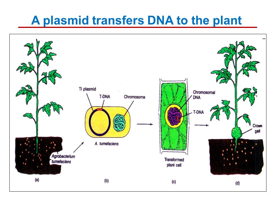 A plasmid transfers DNA to the plant