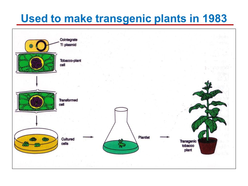Used to make transgenic plants in 1983