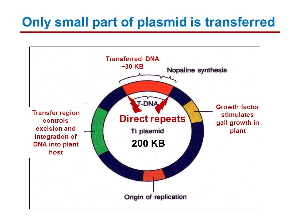 Transferred DNA ~30 KB Transfer region controls excision and integration of DNA into plant host Growth factor stimulates gall growth in plant 200 KB O