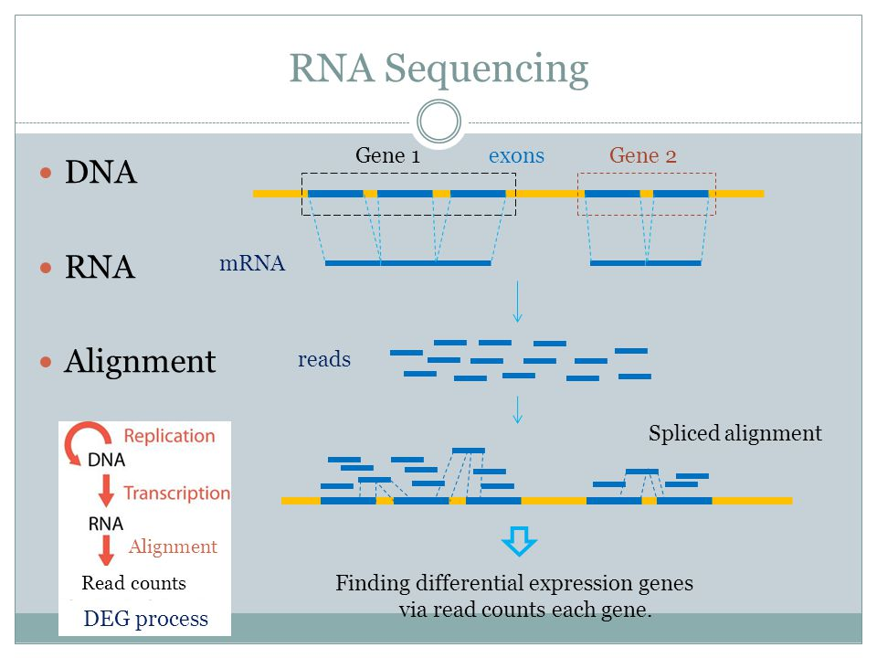 DNA RNA Alignment RNA Sequencing Gene 1Gene 2 reads exons mRNA Finding differential expression genes via read counts each gene.