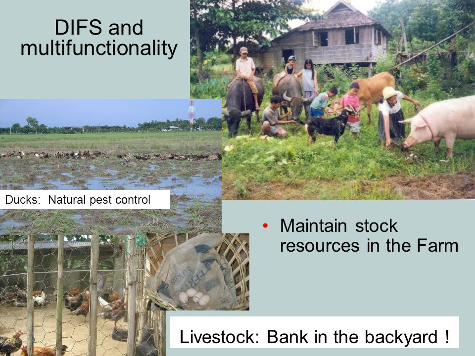 DIFS and multifunctionality Maintain stock resources in the Farm Livestock: Bank in the backyard ! Ducks: Natural pest control