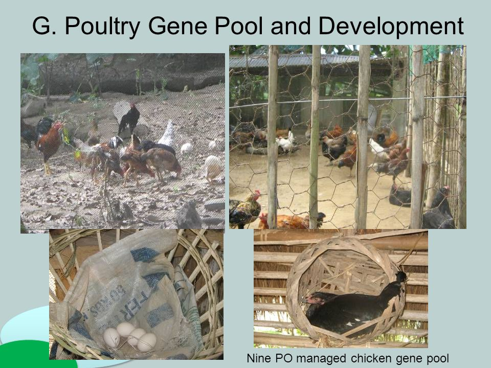 G. Poultry Gene Pool and Development Nine PO managed chicken gene pool
