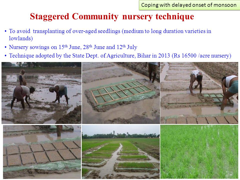 Staggered Community nursery technique To avoid transplanting of over-aged seedlings (medium to long duration varieties in lowlands) Nursery sowings on 15 th June, 28 th June and 12 th July Technique adopted by the State Dept.
