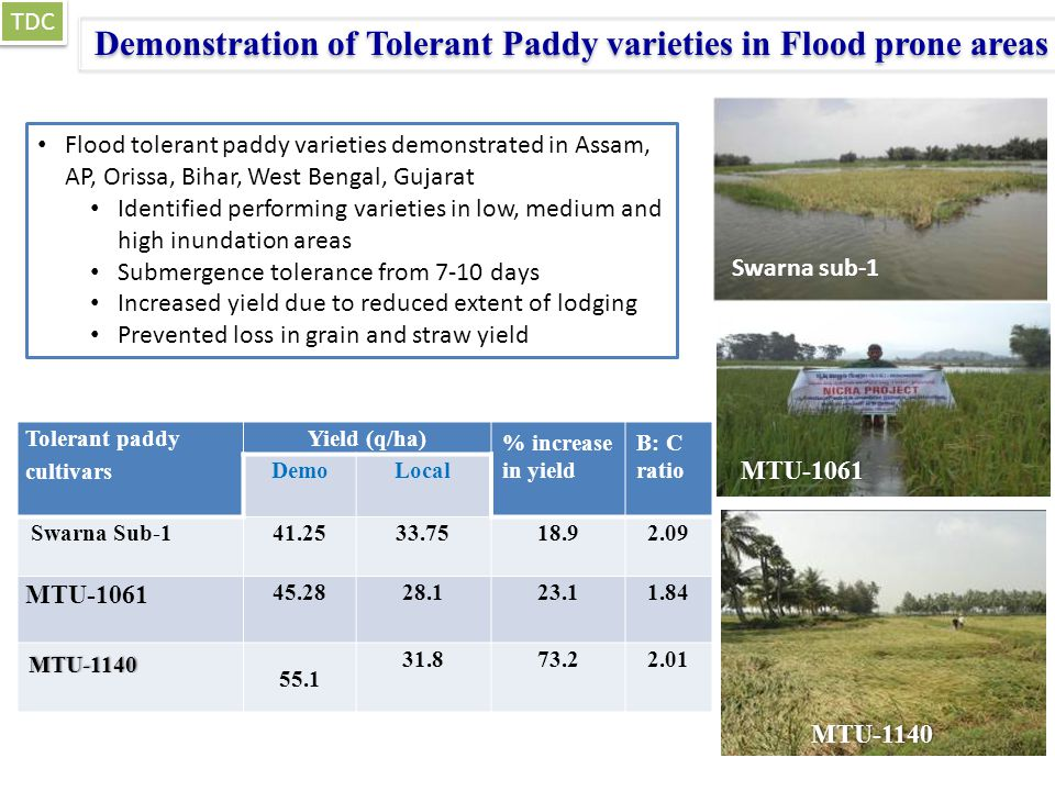 Tolerant paddy cultivars Yield (q/ha) % increase in yield B: C ratio DemoLocal Swarna Sub-141.2533.7518.92.09 MTU-1061 45.2828.123.11.84 MTU-1140 55.1 31.873.22.01 Demonstration of Tolerant Paddy varieties in Flood prone areas MTU-1061 Swarna sub-1 TDC Flood tolerant paddy varieties demonstrated in Assam, AP, Orissa, Bihar, West Bengal, Gujarat Identified performing varieties in low, medium and high inundation areas Submergence tolerance from 7-10 days Increased yield due to reduced extent of lodging Prevented loss in grain and straw yield MTU-1140