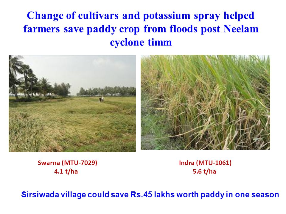 Change of cultivars and potassium spray helped farmers save paddy crop from floods post Neelam cyclone timm Swarna (MTU-7029) Indra (MTU-1061) 4.1 t/ha 5.6 t/ha Sirsiwada village could save Rs.45 lakhs worth paddy in one season