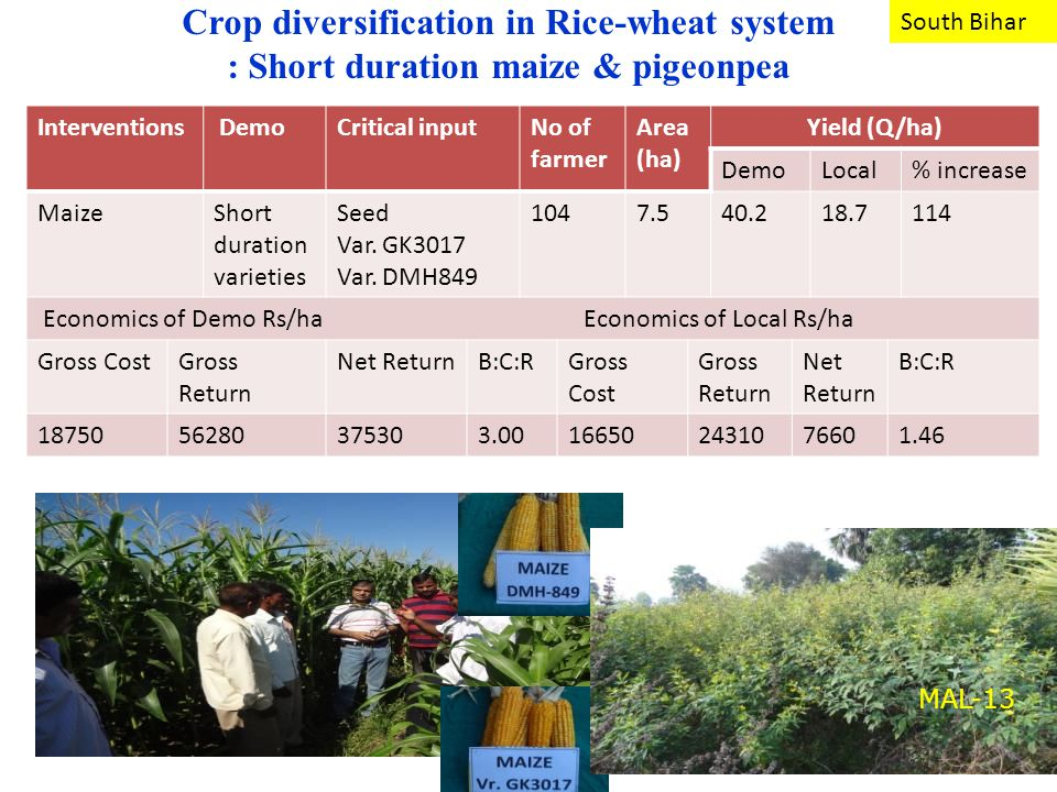 Crop diversification in Rice-wheat system : Short duration maize & pigeonpea Interventions DemoCritical inputNo of farmer Area (ha) Yield (Q/ha) DemoLocal% increase MaizeShort duration varieties Seed Var.