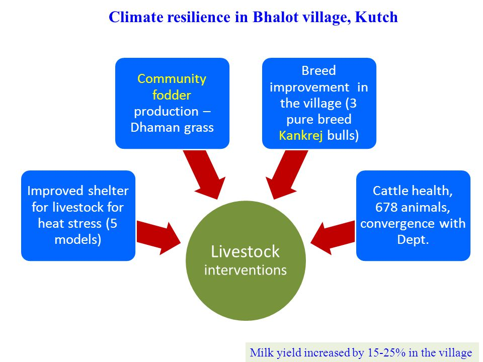 Climate resilience in Bhalot village, Kutch Livestock interventions Improved shelter for livestock for heat stress (5 models) Community fodder production – Dhaman grass Breed improvement in the village (3 pure breed Kankrej bulls) Cattle health, 678 animals, convergence with Dept.