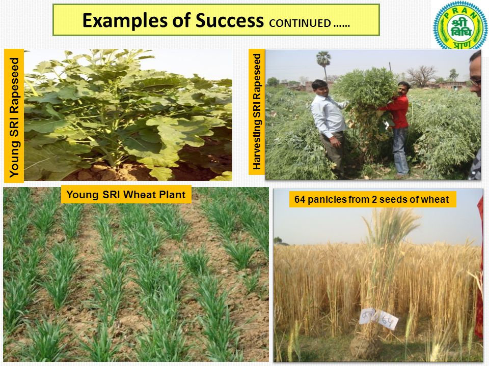 Examples of Success CONTINUED …… A VRP looking at SRI Tomato Harvesting SRI Rapeseed 64 panicles from 2 seeds of wheat Young SRI Rapeseed Young SRI Wheat Plant