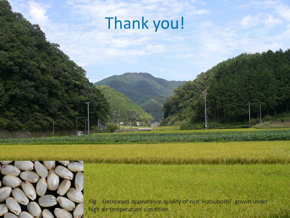 Fig . Decreased appearance quality of rice 'Hatsuboshi' grown under high air temperature condition Thank you!