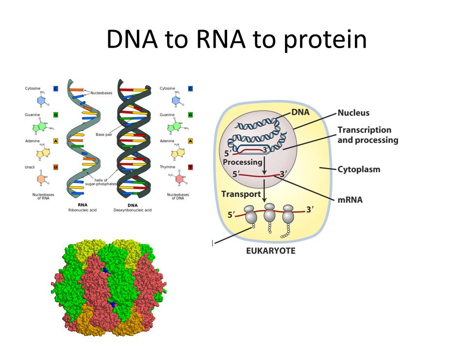 3.Termination Translation ends when ribosome reaches one or more stop codons 3' untranslated tail from stop codon to poly A tail Protein released and ribosome disassembled but can be used for further protein synthesis Transcription: Termination