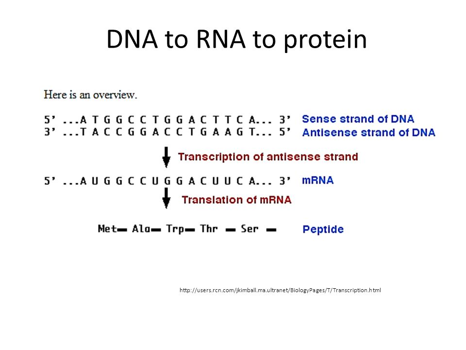 http://users.rcn.com/jkimball.ma.ultranet/BiologyPages/T/Transcription.html DNA to RNA to protein