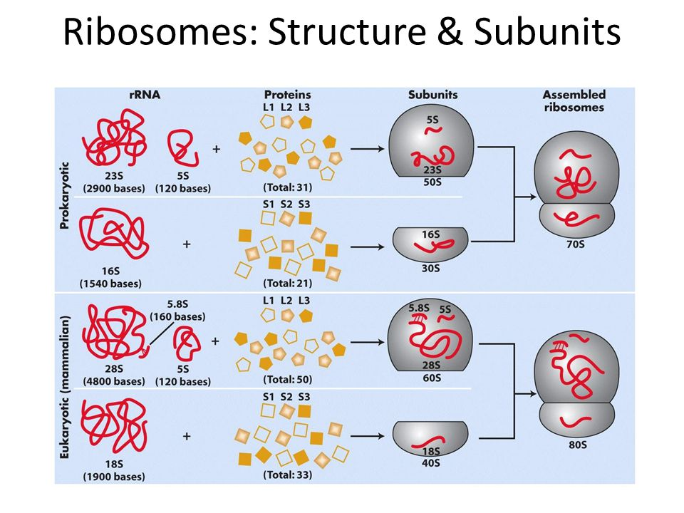 Ribosomes: Structure & Subunits