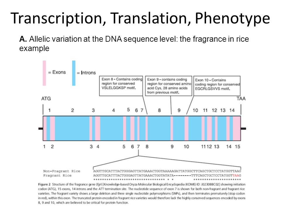 A. Allelic variation at the DNA sequence level: the fragrance in rice example Transcription, Translation, Phenotype