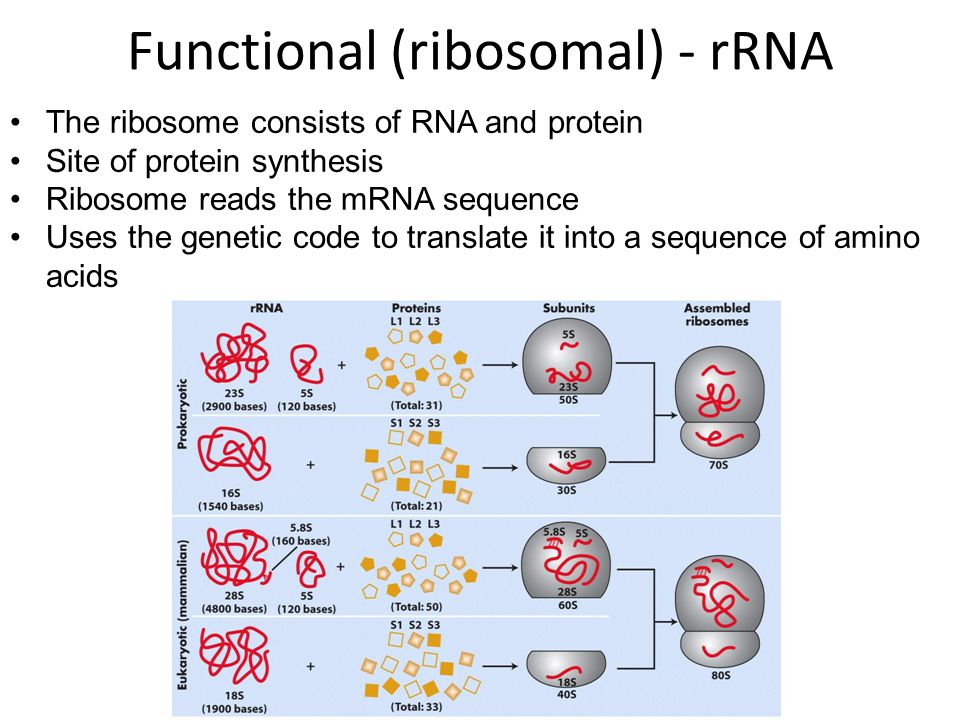 The ribosome consists of RNA and protein Site of protein synthesis Ribosome reads the mRNA sequence Uses the genetic code to translate it into a sequence of amino acids Functional (ribosomal) - rRNA