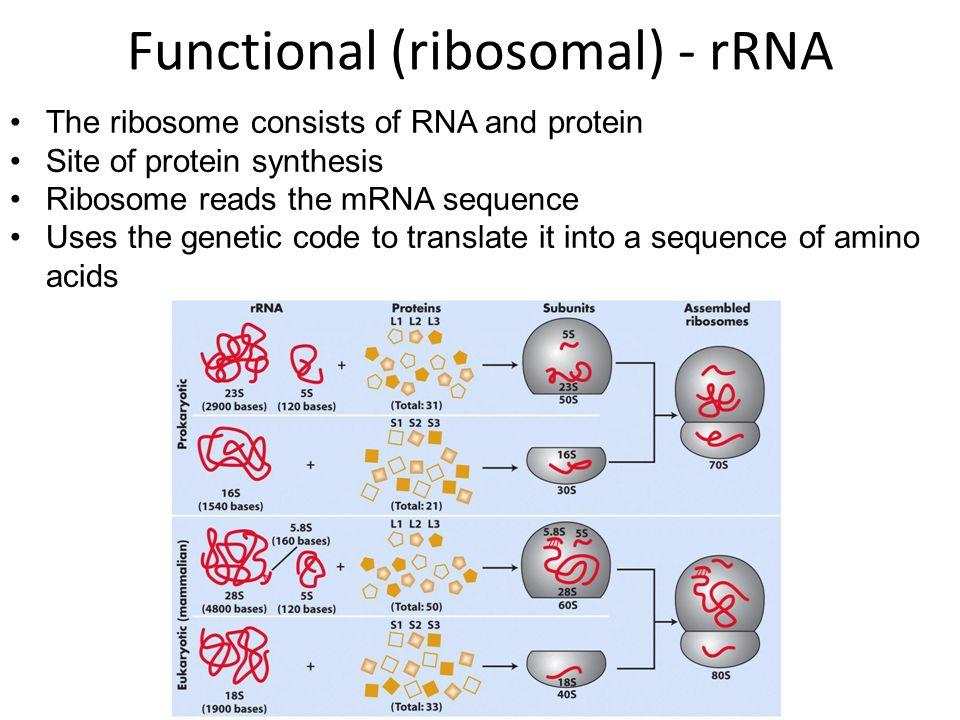 Ribosomes: Structure & Subunits