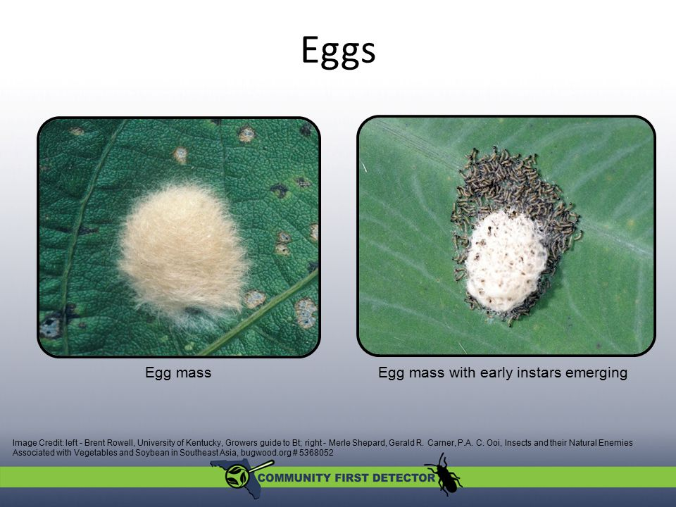 Eggs Image Credit: left - Brent Rowell, University of Kentucky, Growers guide to Bt; right - Merle Shepard, Gerald R. Carner, P.A. C. Ooi, Insects and