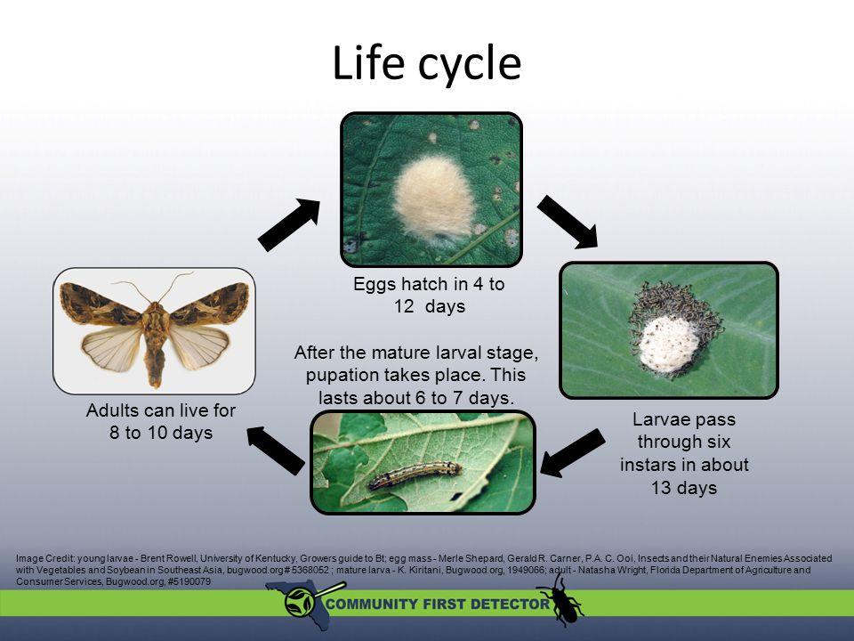 Damage Larvae skeletonize leaves.Older larvae eat entire leaves, flowers, and fruits.