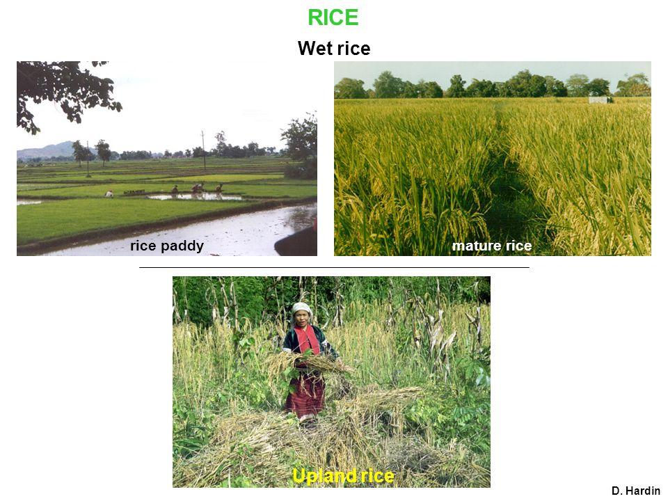 RICE rice paddymature rice Upland rice Wet rice D. Hardin
