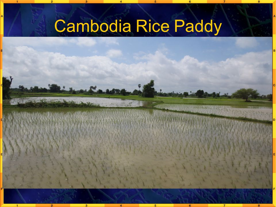 Cambodia Rice Paddy