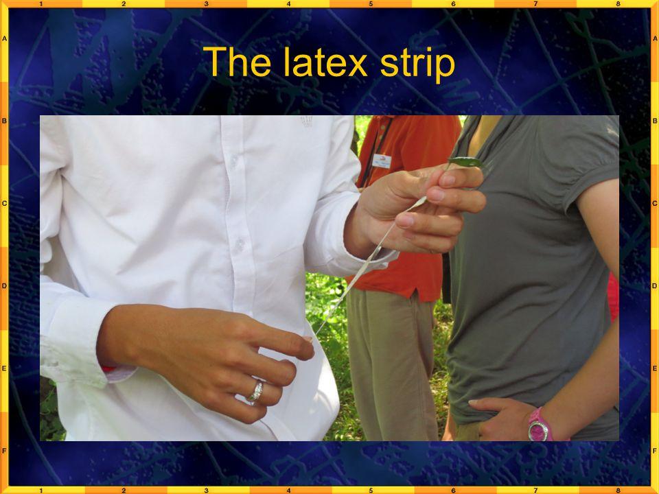 The latex strip
