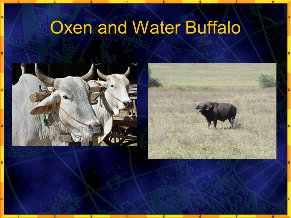 Oxen and Water Buffalo
