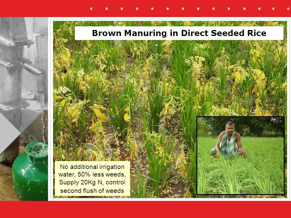 No additional irrigation water, 50% less weeds, Supply 20Kg N, control second flush of weeds Brown Manuring in Direct Seeded Rice