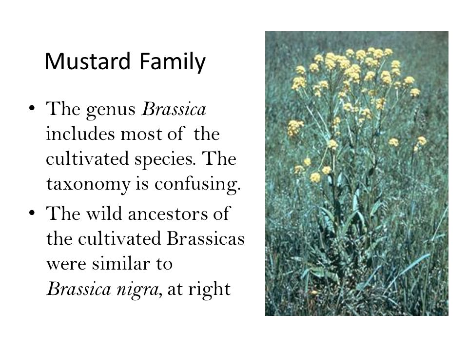 Mustard Family The genus Brassica includes most of the cultivated species.