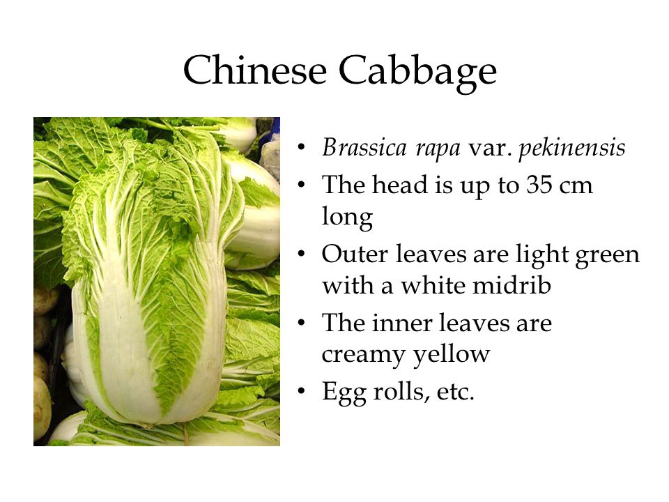 Chinese Cabbage Brassica rapa var. pekinensis The head is up to 35 cm long Outer leaves are light green with a white midrib The inner leaves are cream