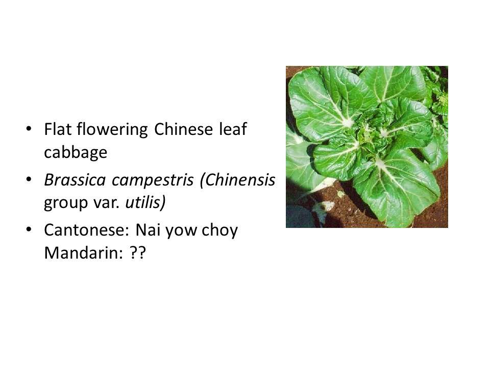 Flat flowering Chinese leaf cabbage Brassica campestris (Chinensis group var. utilis) Cantonese: Nai yow choy Mandarin: ??