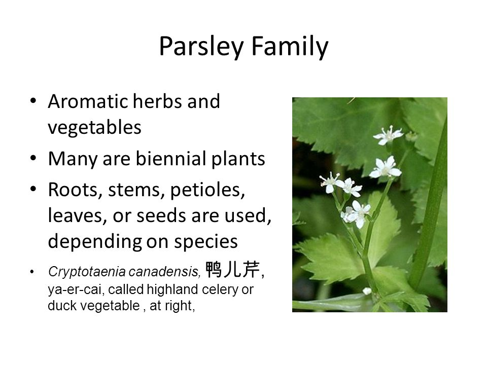 Parsley Family Aromatic herbs and vegetables Many are biennial plants Roots, stems, petioles, leaves, or seeds are used, depending on species Cryptotaenia canadensis, 鸭儿芹, ya-er-cai, called highland celery or duck vegetable, at right,