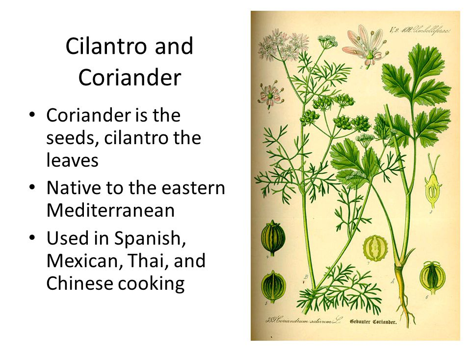 Cilantro and Coriander Coriander is the seeds, cilantro the leaves Native to the eastern Mediterranean Used in Spanish, Mexican, Thai, and Chinese cooking