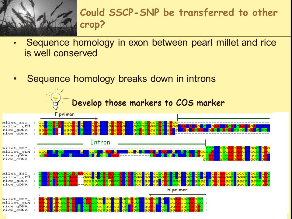 Could SSCP-SNP be transferred to other crop? Sequence homology in exon between pearl millet and rice is well conserved Sequence homology breaks down i