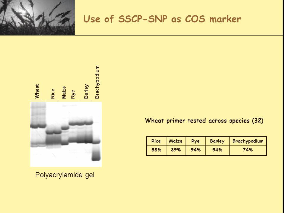 Use of SSCP-SNP as COS marker RiceMaizeRyeBarleyBrachypodium 58%39%94% 74% Wheat primer tested across species (32) Wheat RiceMaizeRyeBarleyBrachypodium Polyacrylamide gel