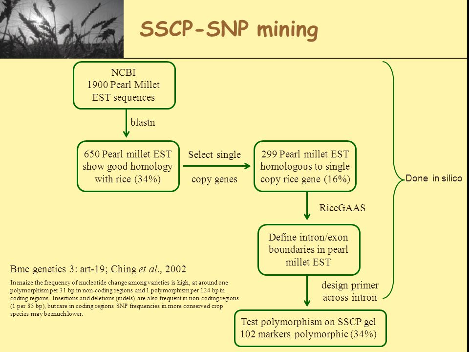 SSCP-SNP mining NCBI 1900 Pearl Millet EST sequences 650 Pearl millet EST show good homology with rice (34%) blastn 299 Pearl millet EST homologous to