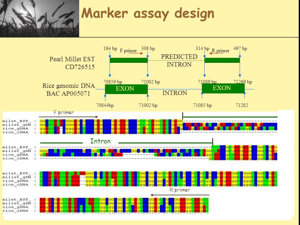 Marker assay design Pearl Millet EST CD726515 Rice genomic DNA BAC AP005071 EXON 70844bp71002 bp71085 bp71282 70859 bp71002 bp71089 bp71269 bp 164 bp308 bp314 bp497 bp F primer R primer INTRON PREDICTED INTRON R primer F primer Intron