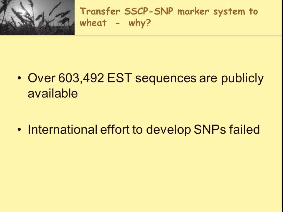 Transfer SSCP-SNP marker system to wheat - why? Over 603,492 EST sequences are publicly available International effort to develop SNPs failed